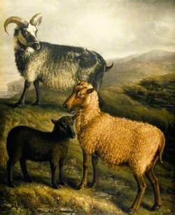 Orkney and Shetland Sheep