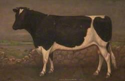 A Friesian Bull