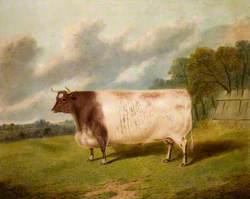 Bull, 'Champion'