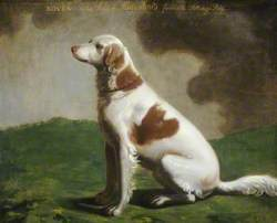 'Rover', the Duke of Kingston's Favourite Setting Dog