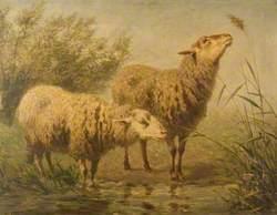 Study of Sheep