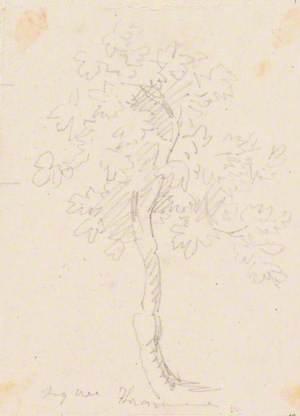 Fig Tree, Trasymene