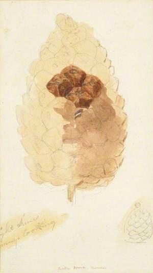 Study of A Pine Cone – Villa Doria, Rome