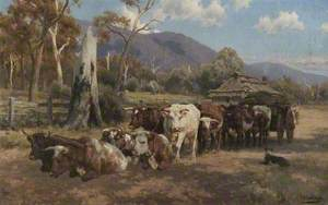 Bullock Team Resting