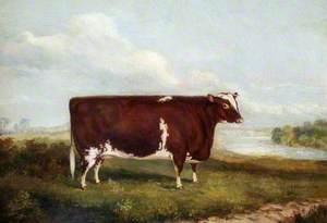 Shorthorn Heifer