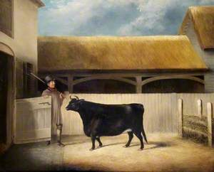 A Small Black Cow