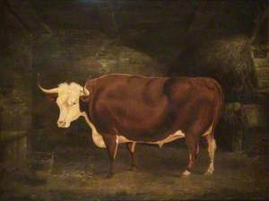 A Hereford Ox in a Stall