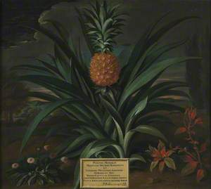 Pineapple Grown in Sir Matthew Decker's Garden at Richmond, Surrey