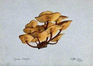 Velvet Shank Fungus (Flammulina Velutipes) Growing on Wood