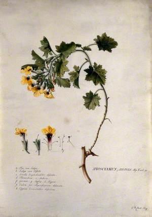 A Plant (Hyoscyamus Aureus): Flowering Stem and Floral Segments