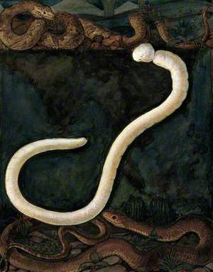Parasites: A Parasitical Worm, Shown Much Enlarged, with Its Hosts