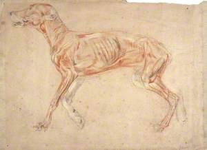 A Greyhound, Ecorché