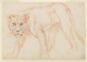Lioness Prowling