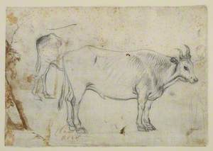 Study of an Ox