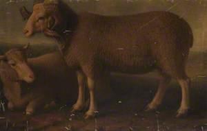 Merino Ram and Ewe