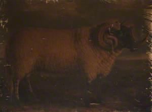 Black-faced Horned Ram