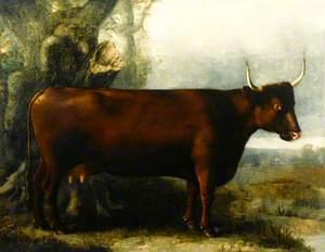 North Devon Cow