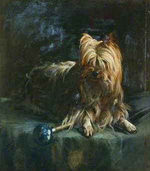 'Jim': Yorkshire Terrier