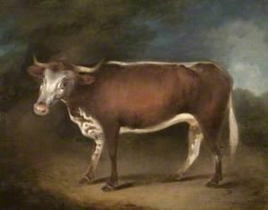 'Blossom', the Cow