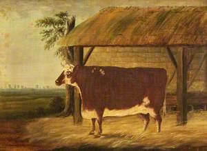 Short-Horn Heifer Under a Shelter