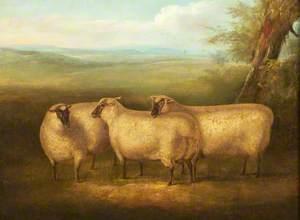 Three South Down Sheep