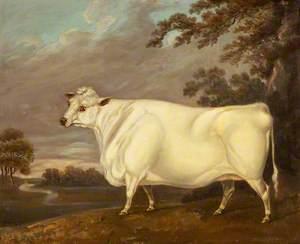 White Heifer and Landscape