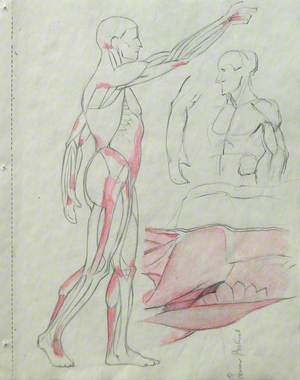 Musculature of the Body