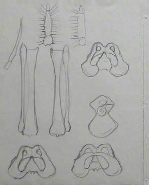 Pelvic Girdle, Long Bones of Leg and Sternum