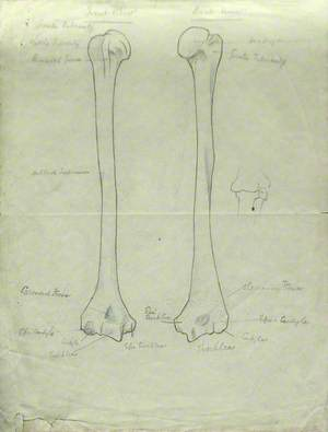 Front and Back View of Humerus