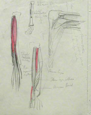 Musculature of Legs and Ankle