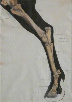 Anatomical Image of Lower Part of Horse's Hind Leg