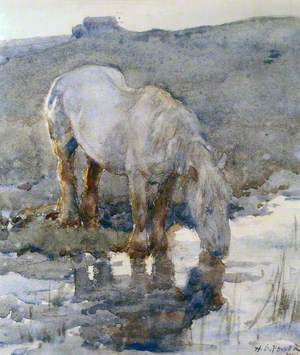 A White Horse Drinking from a Pool