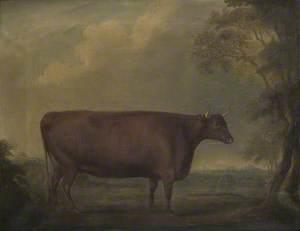 Red Devon Heifers in Landscape