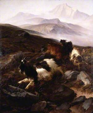 Catching Wild Goats on Moel Siabod