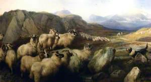 Gathering Flocks on the Grampian Hills