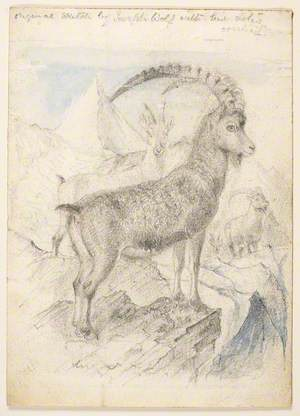 Ibex or Mountain Goat