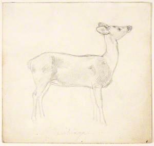 Doe or Deer