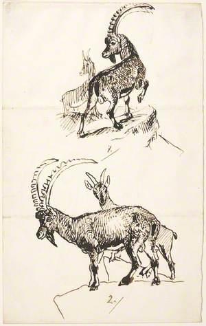 Ibex or Mountain Goat