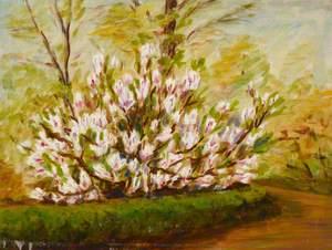 Magnolia, Front Garden