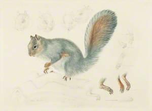 Study of a Grey Squirrel