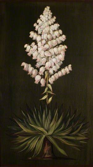 Adam's Needle or Yucca, about Half Natural Size
