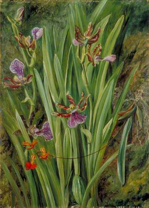 Brazilian Orchids