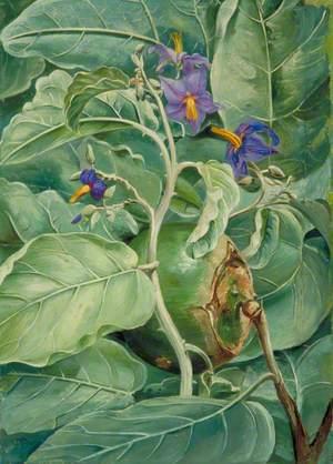Foliage, Flowers and Fruit of Poma de lupa, Brazil