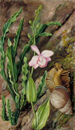 Ground Orchid, Carqueja and Giant Snail, Brazil