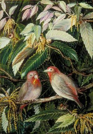A Himalayan Oak and Birds, Nainee Tal, India