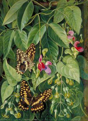 Two Climbing Plants of St John's and Butterflies