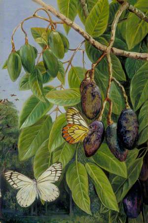 Foliage and Fruit of the Kenari and Butterfly, Java