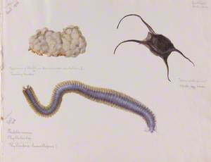 Egg Case of a Whelk, Mermaid's Purse and Paddle Worm