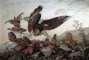 Hawk Attacking Partridges