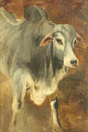 Study of an Ox